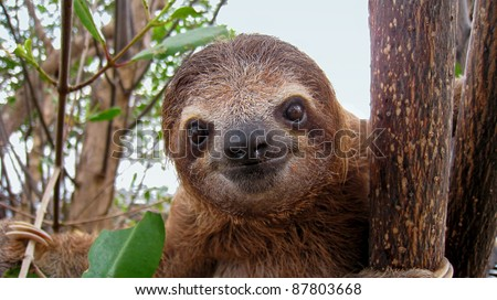 Cute face of young brown-throated three-toed sloth, Caribbean, Costa Rica - stock photo