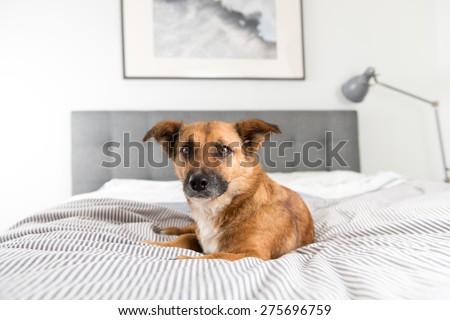 Cute Fawn Colored Corgi Mix on Bed - stock photo