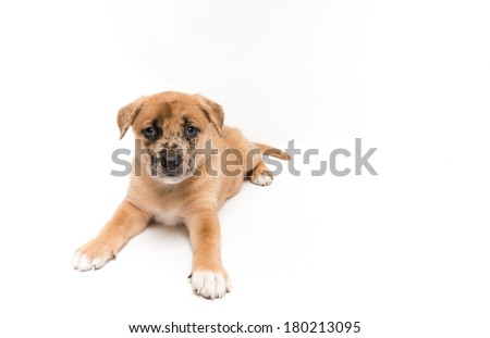Cute Fawn Puppy with Black Spots on White Background