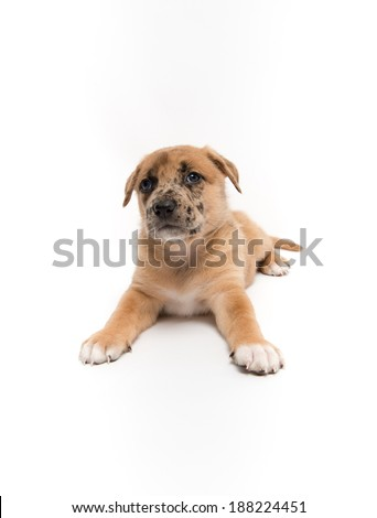 Cute Fawn Puppy with Black Spots on White Background - stock photo