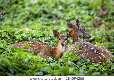 Cute fawn resting with mother in forest, Sri Lankan axis deer - stock photo