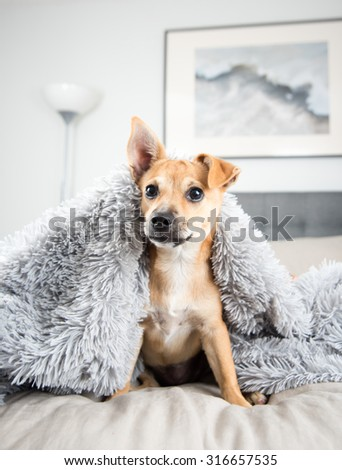 Cute Fawn Terrier Mix Puppy on Human Bed  - stock photo