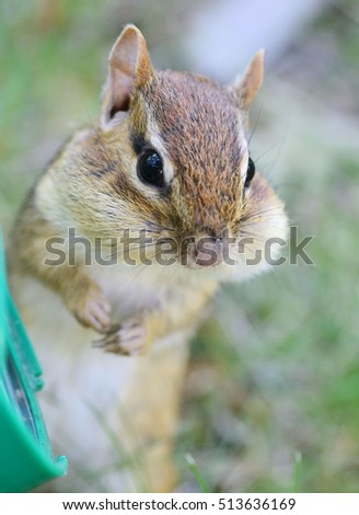 Cute female chipmunk posing with a face full of stored sunflower seeds