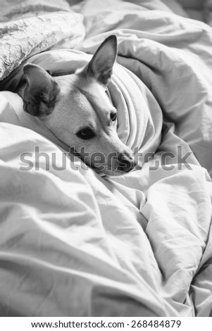 Cute female dog making herself comfortable in bed. - stock photo