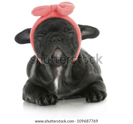 cute female puppy - french bulldog puppy wearing pink head band making silly face - 8 weeks old - stock photo