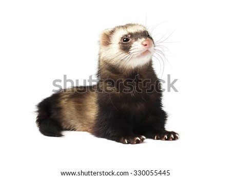 Cute ferret isolated on a white background - stock photo