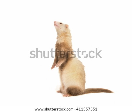 Cute ferret standing on behind legs looking up isolated on a white background