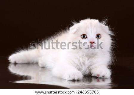 Cute fluffy kitten Scottish breed - stock photo