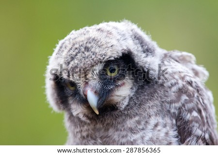 Cute fluffy owlet looking at the viewer with their yellow eyes. Portrait - stock photo