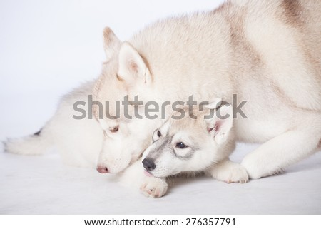 Cute fluffy Siberian Husky adult dog with puppy in studio