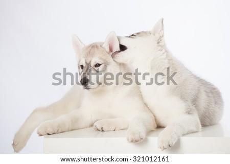 Cute fluffy Siberian Husky puppies in studio - stock photo