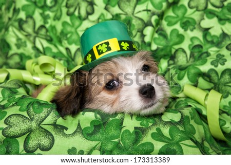 Cute fluffy st pattys puppy lying down on irish shamrock background after the party