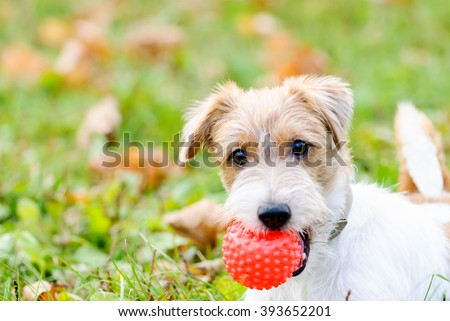 Cute fluffy terrier dog playing with red small ball - stock photo