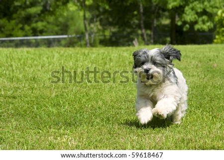 Cute fluffy white dog running in yard