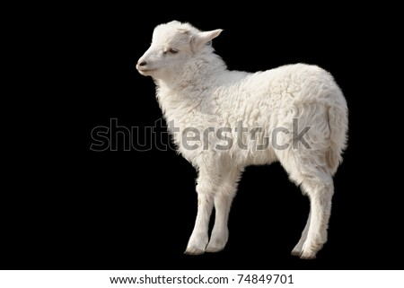 Cute fluffy white lamb isolated on black background - stock photo