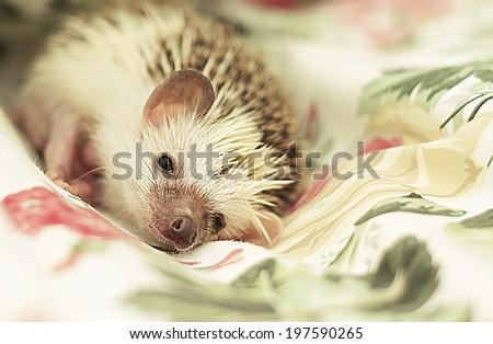 cute fn hedgehog baby sleeping - stock photo