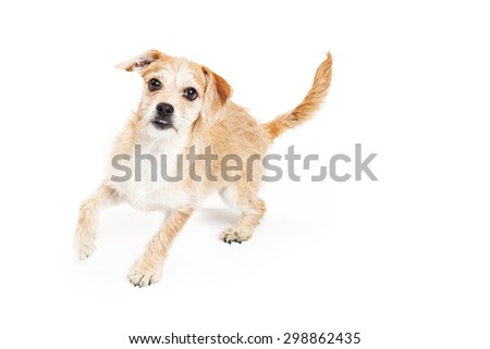 Cute four month old terrier mixed breed puppy dog running around on a white studio background - stock photo