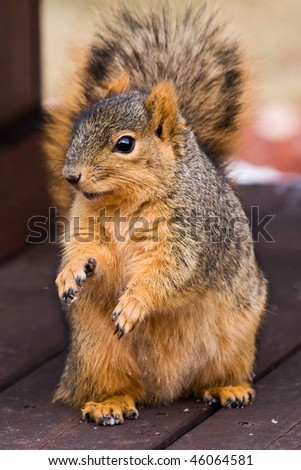 Cute Fox Squirrel Begging For Food - stock photo