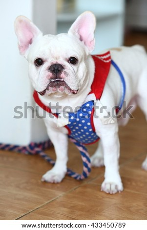 Cute French Bulldog portrait indoor - standing front view - stock photo