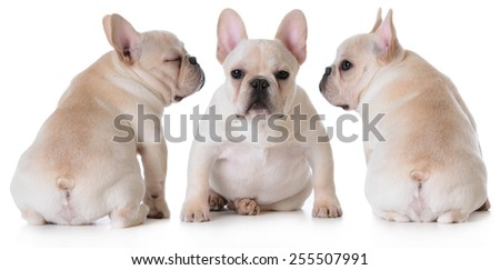 cute french bulldog puppies sitting isolated on white background - stock photo