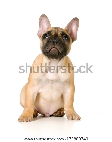 cute french bulldog puppy sitting looking up isolated on white background - black masked fawn - stock photo