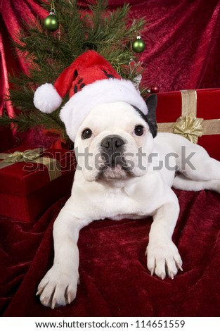 Cute French Bulldog puppy under Christmas tree on red velvet background wearing santa hat