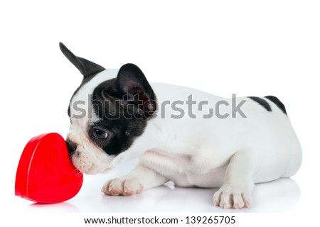 Cute french bulldog puppy with red heart