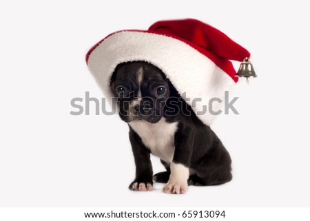 Cute French Bulldog puppy with Santa hat on a white background. - stock photo