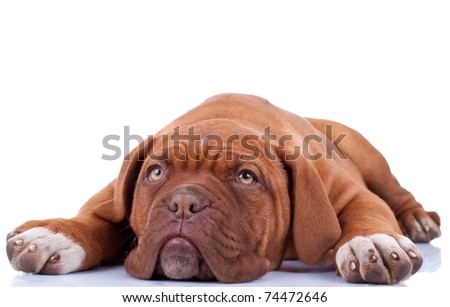cute french mastiff (dogue bordeaux) loiking a little sad and tired - stock photo