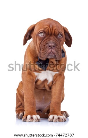 cute french mastiff (dogue bordeaux) wearing a neckbow sitting on white background