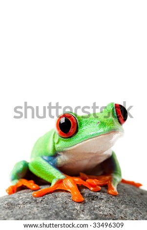 cute frog sitting on a rock isolated on white - a red-eyed tree frog (agalychnis callidryas) - stock photo