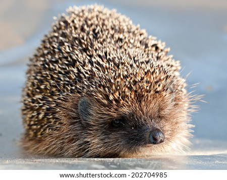 cute full-length hedgehog closeup, front view looking at camera