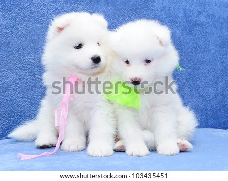 Cute fumbling puppies of Samoyed dog (also known as Bjelkier)
