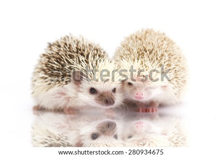 cute fun love rodent african pygmy hedgehog baby
