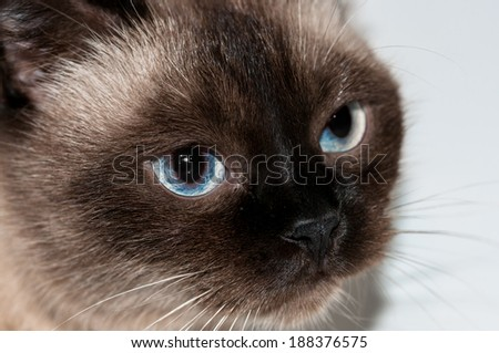 Cute funny cat with blue eyes