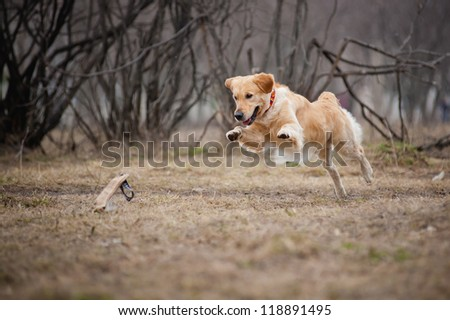 cute funny golden Retriever dog playing with a toy - stock photo