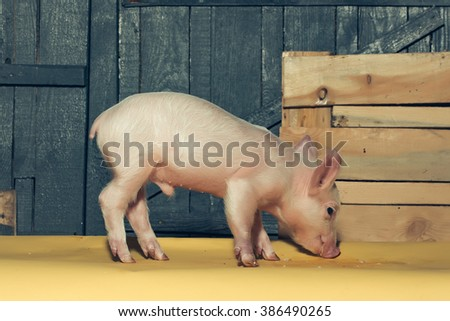 Cute funny young small pink piglet pet standing near box indoor in studio on wooden backgroumd, horizontal picture