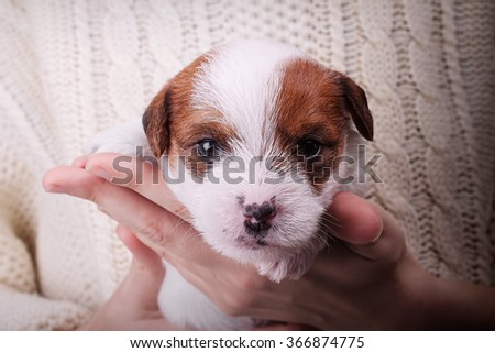 Cute furry puppy Jack Russell terrier (2 weeks) in hands. Cozy background animal and human friendship - stock photo