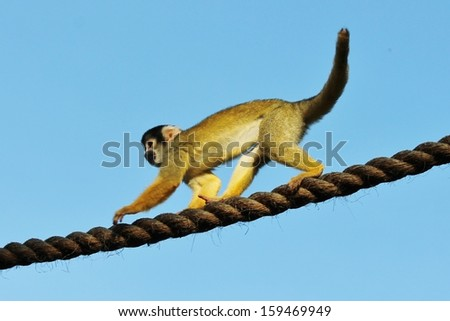 Cute furry squirrel monkey in trees and rope - stock photo