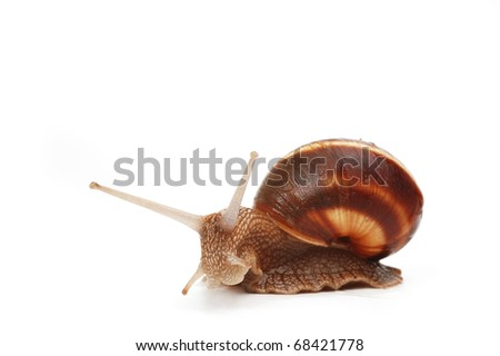 cute  garden snail staring,isolated on white background - stock photo