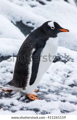 Cute gentoo penguin on the snow in Antarctica - stock photo