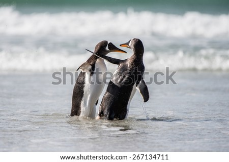 Cute gentoo penguin playing in the water - stock photo