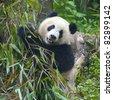 Cute giant panda bear eating bamboo - stock photo
