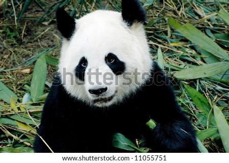 cute giant panda in the zoo of chengdu, china - stock photo