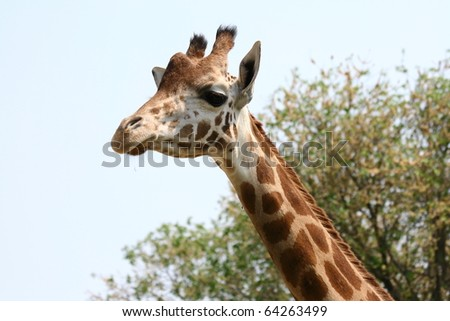 cute giraffe free at the zoo with trees - stock photo