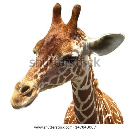 Cute giraffe, isolated on white background. - stock photo