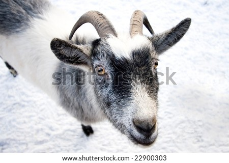 Cute goat on white snow