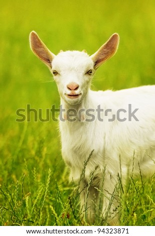 Cute goat portrait, young animal outdoor, grazing on the field, rural farming, livestock breeding - stock photo
