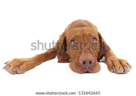 cute golden color dog laying with stretched paws and eyes looking up on white background