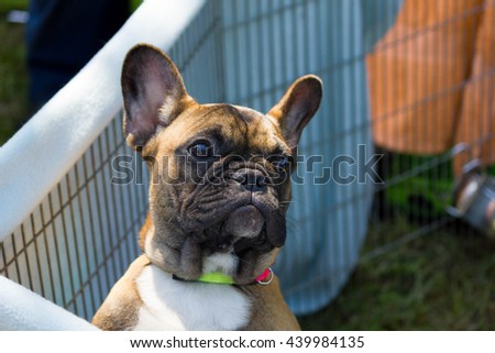 Cute golden french bulldog puppy watching out of his cage.